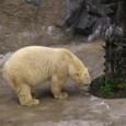 旭山動物園①ホッキョクグマ