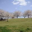 ラグビー場の近くの丘に咲く桜4/5