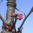 ええ、桜?のつぼみが・・・2/25